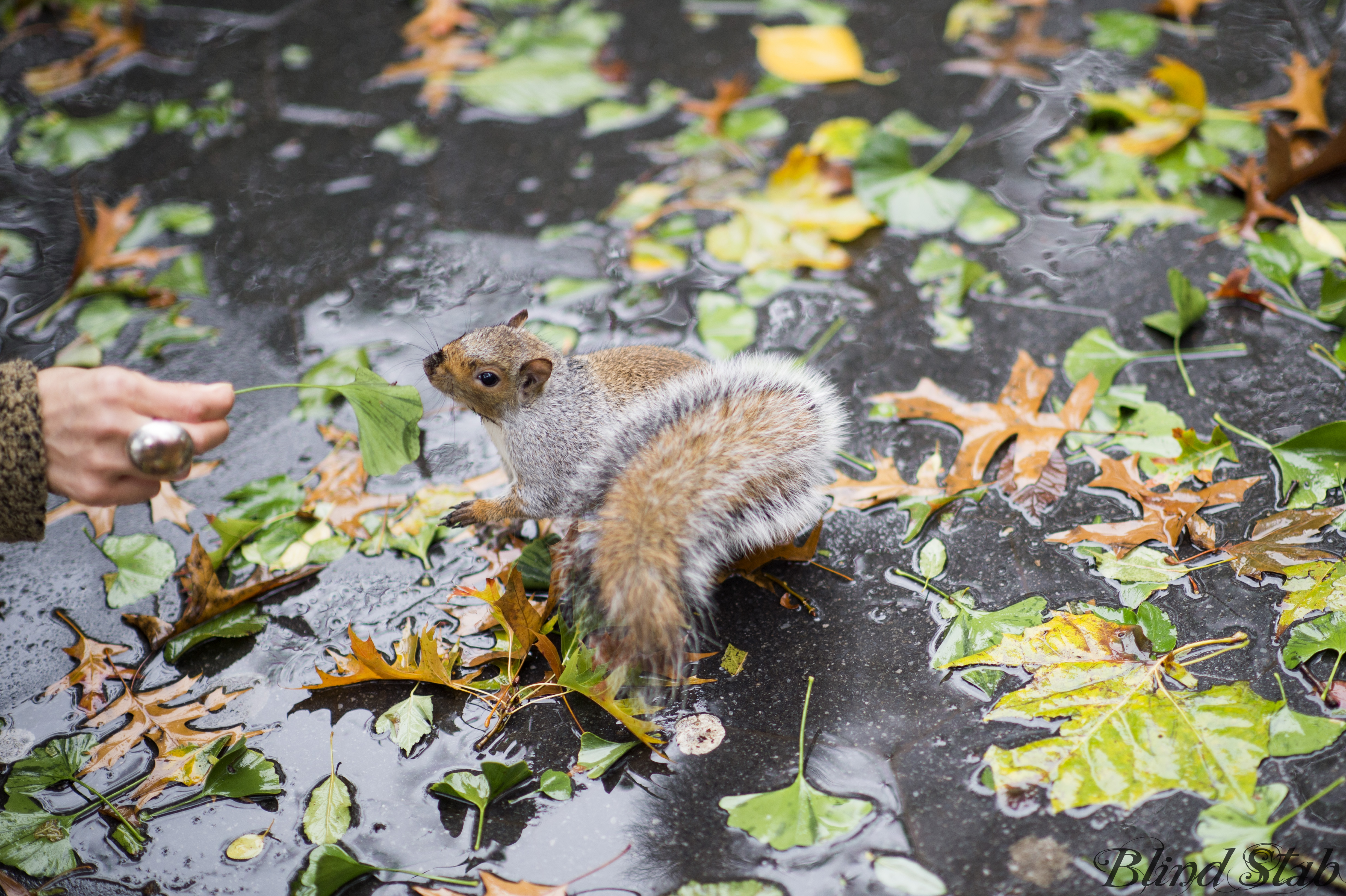 Squirrel-Central-Park-Leaves-New-York