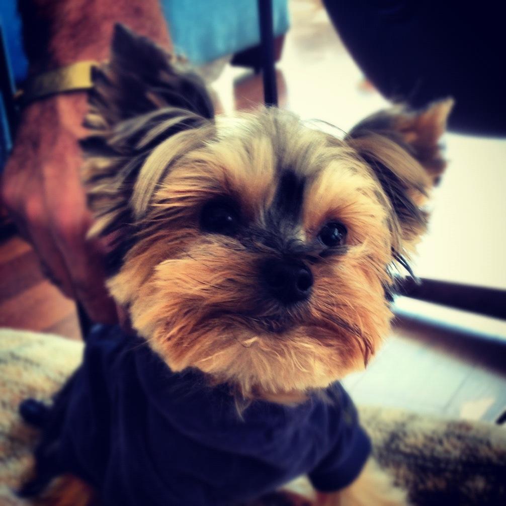 Yorkie-Instagram-Cute-Dog
