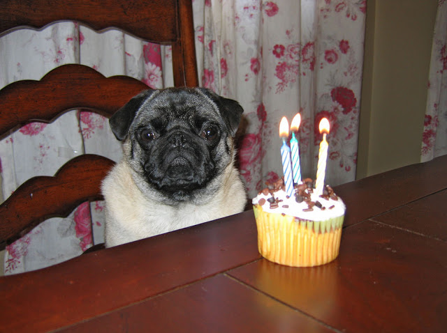 Blind Stab Funny Birthday Cupcake Pug